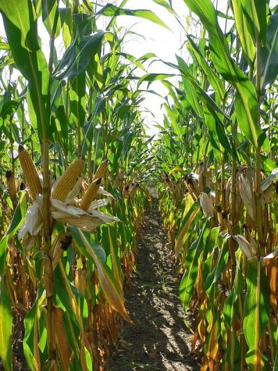 Well-formed stand of high-yielding hybrid maize prior to harvest (I. Pók)