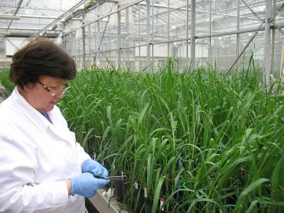 Phenotyping of a mapping population in the greenhouse (Photo: Judit Bányai)