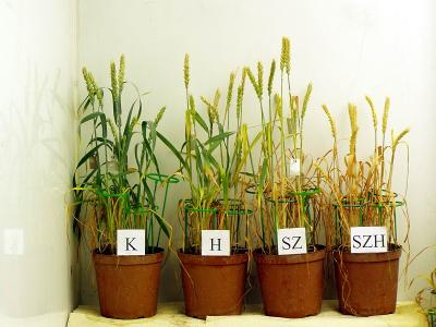 Studies on the effect of heat and drought stress on winter wheat on the 16th day of treatment.